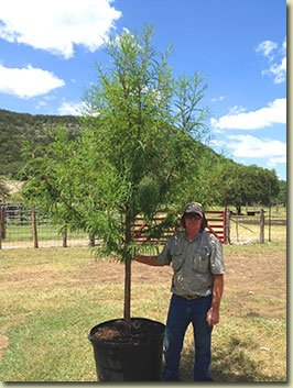 Montezuma Cypress at Texas Tree Farm