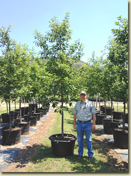 Chinquapin Oak at our Texas Tree Farm